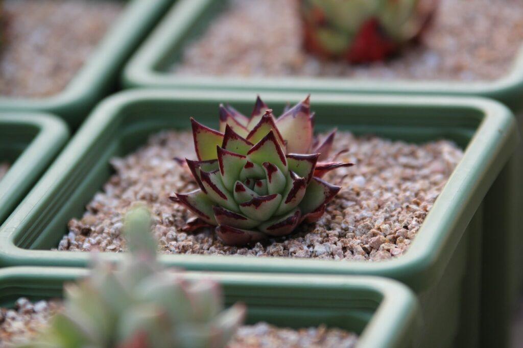 entretenir mini cactus