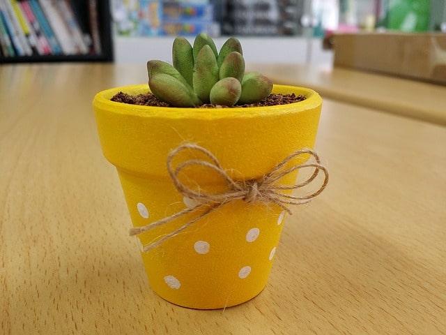 mini cactus dans un pôt